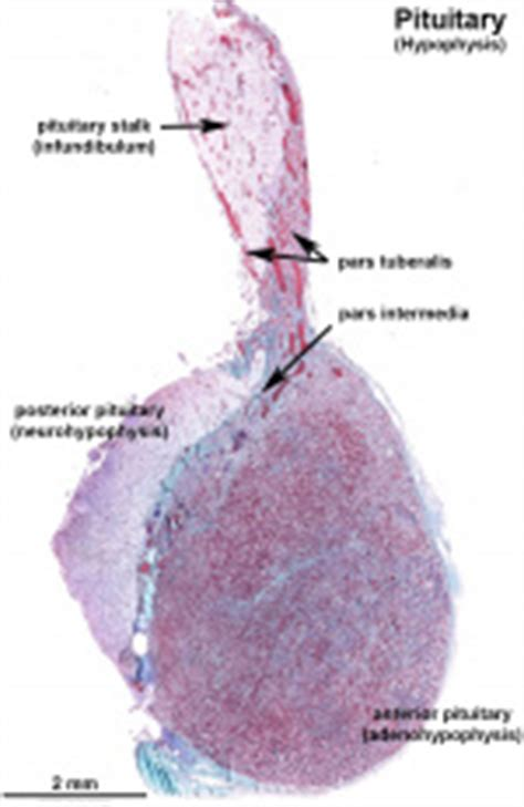 Endocrine - Pituitary Development - Embryology